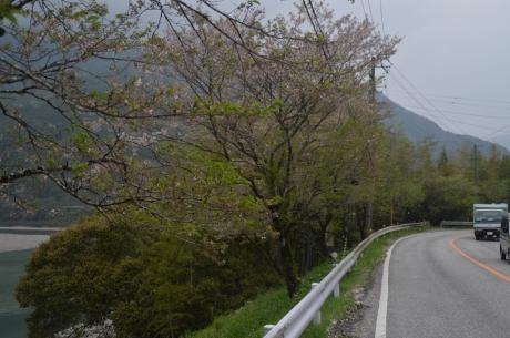 6乱れ散る桜