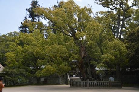 9樹齢2600年の大楠