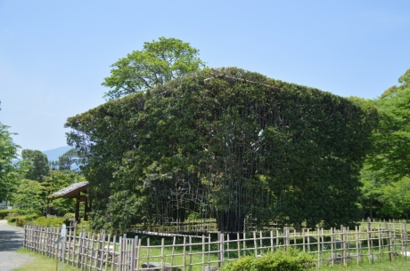 7羊羹カットの槇の木