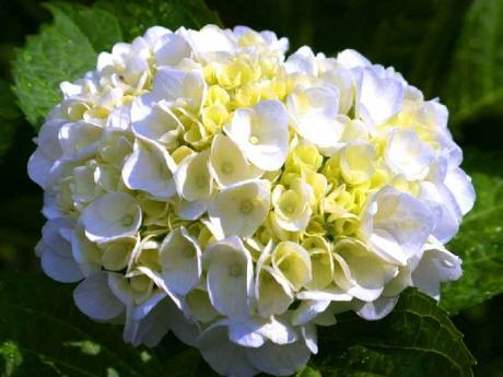 白花アジサイ (2)
