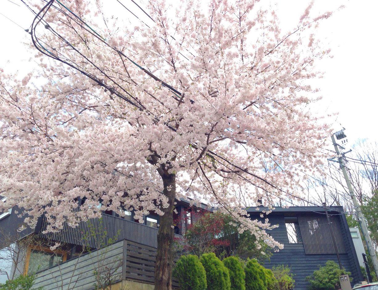 代表自邸と満開の桜