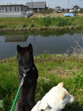 DSC01432s郷瀬川に鯉が