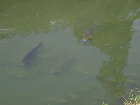 20150418薬師川の鯉
