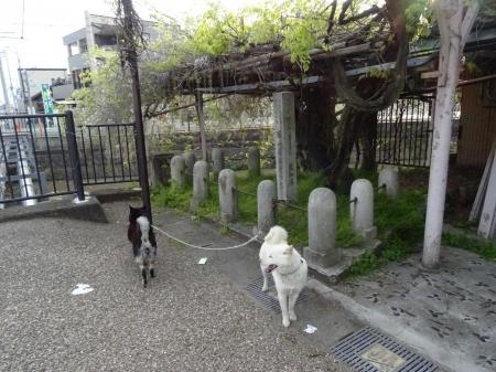 DSC01588愛知県天然記念物清流亭藤棚1