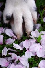 桜の花びらとダルメシアンの足
