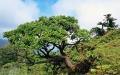 Melanodendron-integrifolium[1]