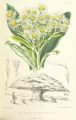 MELLISS(1875)_p391_-_PLATE_40_-_Melanodendron_Integrifolium[1]