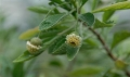 St-Helena-gumwood-flowering-in-cultivation-at-Kew[1]