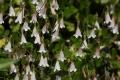 Linnaea_borealis_1190[1]
