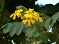 Markhamia_lutea_blossoms_closeup[1]