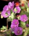 eremalche_parryi_flowers1[1]