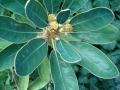 Litsea_japonica_HabitusFlowers_BotGard0906b[1]