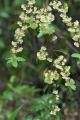 Litseacubebaflowers[1]