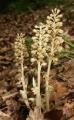 Neottia_nidus-avis_plants[1]