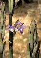 Limodorum_abortivum_Orchi_2013-04-16_022[1]