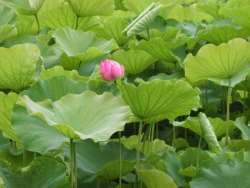 不忍池のハス 2015.6.30