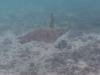 鳩間島ビーチでウミガメに遭遇!