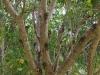 木に蝉がたくさん~かなり五月蝿いうるさい!