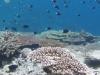 バラス島付近~サンゴとシコクスズメダイ