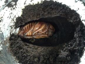 ヘラヘラ♀蛹