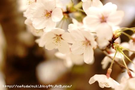 桜(2015.4.6撮影)