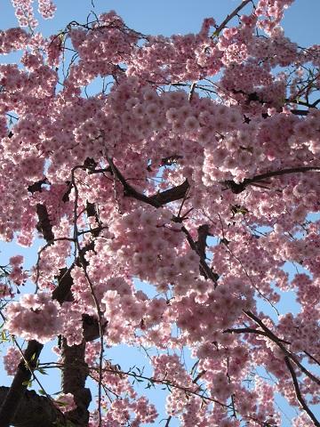 桜IMG_3313