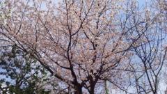 0324_05sakura_a.jpg