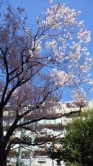 0327_03sakura.jpg