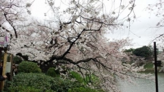 0329sakura03.jpg