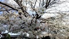 0402_04sakura02.jpg