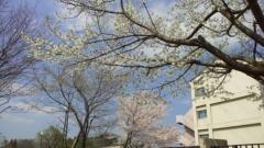 0402_07sakura.jpg