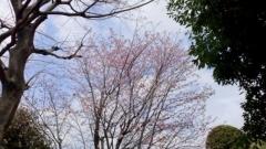 0409_01sakura.jpg