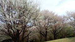 0409_08sakura.jpg