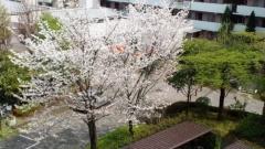 0416_17yamasakura.jpg