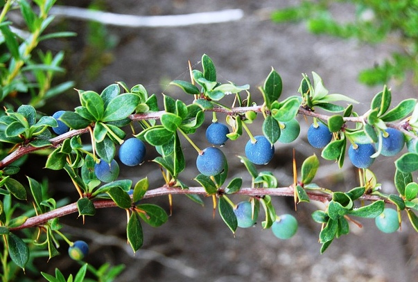 Calafate20fruits.jpg