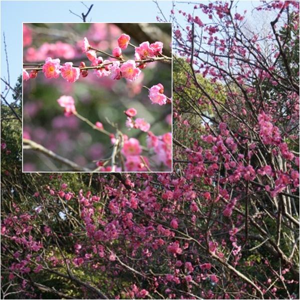 梅を見に2 15-03