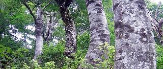 山田村のブナ林