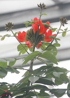 カエンボク(アフリカ原産・アフリカンチューリップツリー)