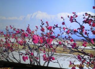 内山邸の梅