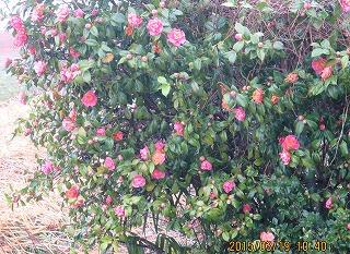 椿乱れ咲き