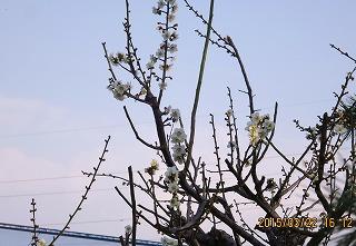 梅花満開近し