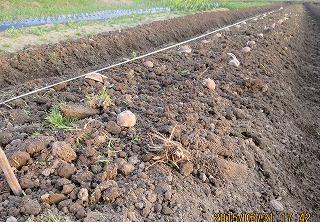 馬鈴薯植え込み
