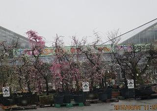 園芸店の春
