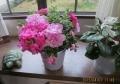 アザレヤの花
