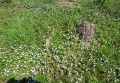 オオイヌフグリの花
