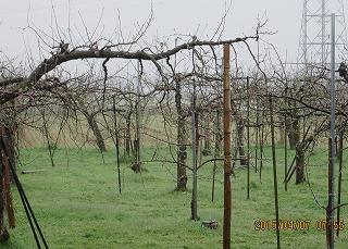 霧雨のリンゴ園