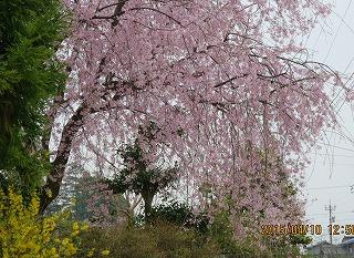 井田の枝垂れ桜
