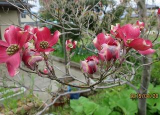 ハナミズキ開花