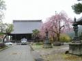 聞名寺の枝垂れ桜・1