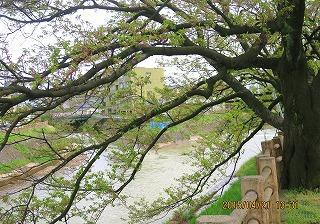 イタチ川の葉桜